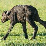 New born Water Buffalo