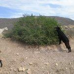 Les chèvres adorent les arganiers