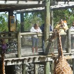 Giraffe viewing and feeding