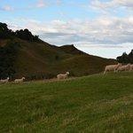 walking through the pastures...sheep