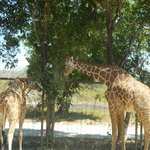 Giraffes - get up close and very personal, try feeding them with the carrot from your mouth