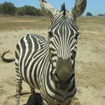 Zebra - feed these from your vehicle, hands only