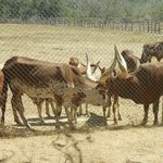 Watusi - feed these through the fence