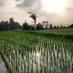 rice fields on the hotel territory are amazing