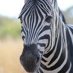 Staring a zebra down during one of our safaris