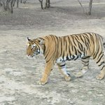 Foto de Tiger Safari Resort