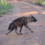Brown Hyena - always running away