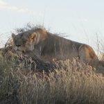 Lionne au repos
