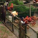 Galli, polli e galline