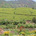 Tea plantation and gardens at ARANYA