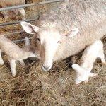 Sheep, lambing 2014