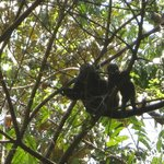 howler monkey's (daily visitors)
