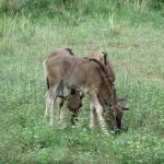 Wildebeest Babies
