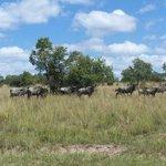 Wildebeest at Pumula