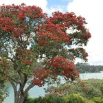 Our magnificent Pohutukawa tree, the NZ christmas tree, in bloom