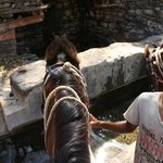 Our trusty and safe Marwari horses stopping for a drink. This one is Sonya