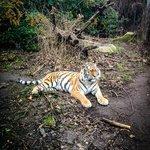 Красавец тигр!