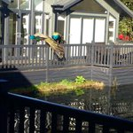 Kentisbury Grange Peacocks
