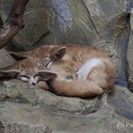 2 nice Fennec that are sleeping