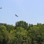 орел рыжий