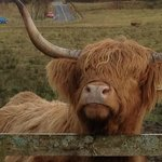 the hairy cow