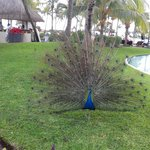 bello pavo real!