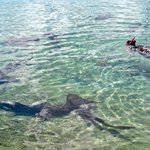 Swimming with the Nurse Sharks off the dock at SCYC.
