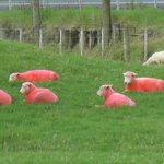 Loved the pink sheep!