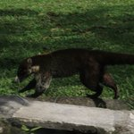 coati 3 ft from my chair