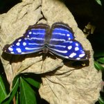 Mexican Blue Butterfly