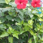Lovely live blooming Hibiscus by the pool ... Jan 2014