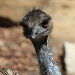 Curious Emu