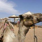 Kameltour zum Tauchen im Ras Abu Gallum Nationalpark