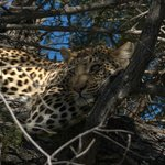 leopard spotted on morning drive