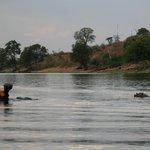 Hipopotamos, uno de los animales que vereis por la zona