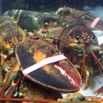 The live Maine Lobster before it becomes a lovely dish.