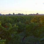 Magnotta Merritt Road Vineyard