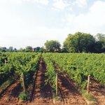 Magnotta Niagara Vineyard