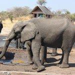 Onde os elefantes vem saciar a sede.