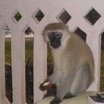 Resort Monkey