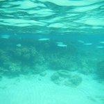 snorkeling - needle fish