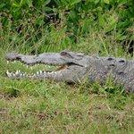 Krokodil (lag hinter der Wäscherei)