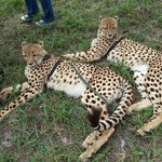 Cheepo and Chaminuka - the two cheetahs