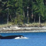 Orca swimming close to shore.