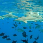 Blacktip reef sharks outside of the reef