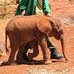Weeks old orphaned Elephant.