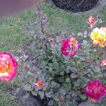 rosales increibles