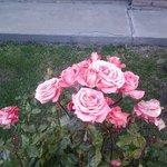 hermosos rosales