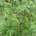 Sweet, juicy starfruit tree