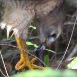 Red-shouldered Hawk eating a snake